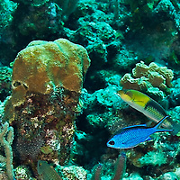 Blue Chromis, Chromis cyanea, (Poey, 1860), and Yellowhead Wrasse, Halichoeres garnoti<br /> (Valenciennes, 1839), Grand Cayman