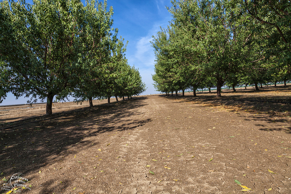 Almond orchard. Rod Cardella runs Cardella Winery, a family business since 1969, which grows almonds, broccoli and other crops as well as grapes. With the high price of water in recent years, Rod has turned to technology and drip irrigation to lower water usage and like many other farmers is planting high value crops such as almonds. Fresno County, San Joaquin Valley, California, USA