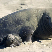 Northern Elephant Seal, (Mirounga angustirostris)  Male and baby pup. Central California.
