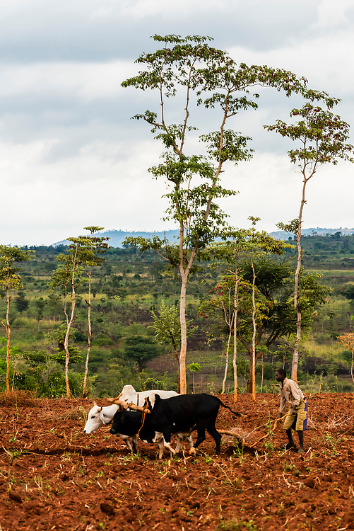 Konso tribe farmer plowing field with water buffalo, Omo Valley, Southern Nations Nationalities and People's Region, Ethiopia.