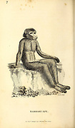 Barbary Ape from General zoology, or, Systematic natural history Part I, by Shaw, George, 1751-1813; Stephens, James Francis, 1792-1853; Heath, Charles, 1785-1848, engraver; Griffith, Mrs., engraver; Chappelow. Copperplate Printed in London in 1800. Probably the artists never saw a live specimen