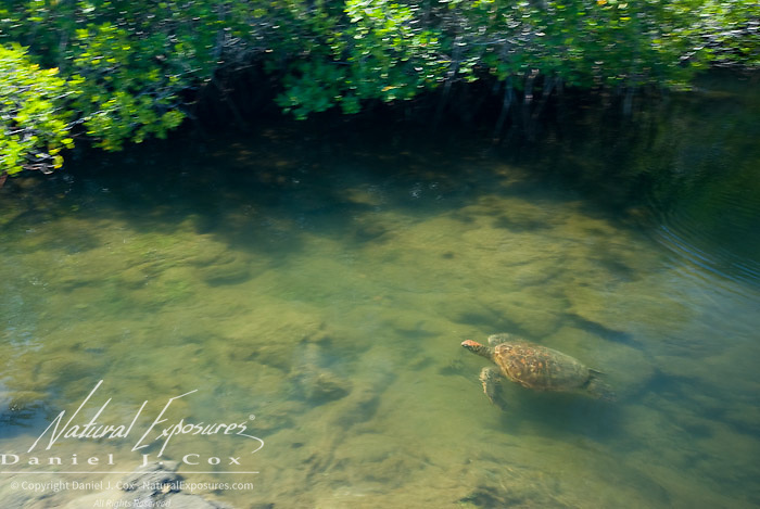 Green Sea Turtle (Chelonia mydas) swimming in a mangrove lagoon. Fernandina island Galapagos Ecuador.