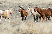 Three wild horses stand together watching the approach of a third wild horse in the Steens mountains of southeast Oregon
