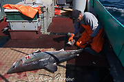 crew member of longline vessel removes fins from porbeagle shark ( Lamna nasus ) in a legal and managed fishery; fins and carcasses are landed separately, but must be equivalent in number; Nova Scotia, Canada ( North Atlantic Ocean )
