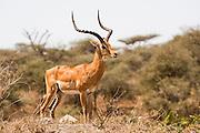 Impressive male Impala (Aepyceros melampus). Photographed in Tanzania
