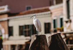 THEMENBILD - ein Fischreiher auf einem Holzpfoste, aufgenommen am 05. Oktober 2019 in Venedig, Italien // a heron on a wooden post, in Venice, Italy on 2019/10/05. EXPA Pictures © 2019, PhotoCredit: EXPA/Stefanie Oberhauser