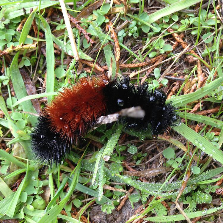 Caterpillar, Tumbo Island, Gulf Islands National Park Reserve, British Columbia, Canada