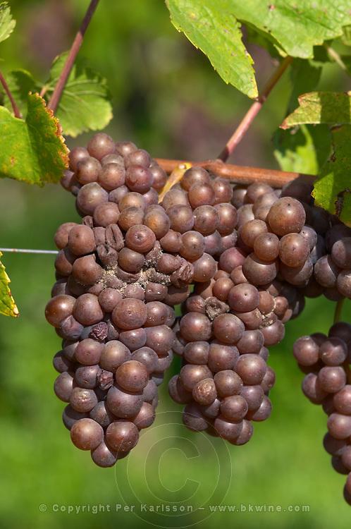 Grape bunch attacked by grey rot pinot gris dom g humbrecht pfaffenheim alsace france