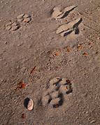 Lynx, Lynx canadensis, and Bald Eagle, Haliaeetus leucocephalus, tracks in soft sand of a Lake Superior beach, Lake Superior Provincial Park, Ontario, Canada.