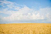 Cloud formations over golden wheat field in bright summer day, Mazgramzda, Kurzeme, Latvia Ⓒ Davis Ulands | davisulands.com