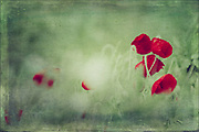 Poppies in a field - textured photograph<br /> Redbubble products: https://rdbl.co/2v1YZgf