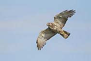 Broad-winged Hawk - Buteo platypterus - Juvenile