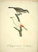 Grignet Male and Female from the Book Histoire naturelle des oiseaux d'Afrique [Natural History of birds of Africa] Volume 3, by Le Vaillant, François, 1753-1824; Publish in Paris by Chez J.J. Fuchs, libraire 1799 - 1802