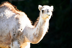 One of two new female Dromedary camels added to the Oakland zoo gazes curiously at the camera on her first day on display, Tuesday, Nov. 24, 2009 in Oakland, Calif. (D. Ross Cameron/Staff)