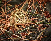 Pickeral Frog (Lithobates palustris). Image taken with a Nikon 1 V3 camera and 70-300 mm VR lens (ISO 800, 300 mm, f/5.6, 1/40 sec)