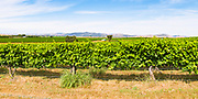 grape vines on a vineyard near Gulgong, New South Wales, Australia <br />