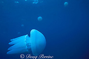 mosaic jellyfish, Catostylus mosaicus, feeding under coral spawn slick after mass spawning of Great Barrier Reef, N . Stradbroke Island, near Brisbane, Queensland, Australia ( Western Pacific Ocean )