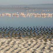 Greater and Lesser Flamingos at Lake Nakuru in Kenya Africa.