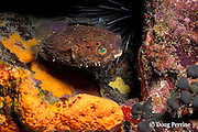 balloonfish,  spiny puffer, long-spine porcupinefish, or freckled porcupine fish, Diodon holocanthus, Coral Castles, St. Vincent, West Indies ( Caribbean Sea )