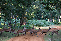 Windsor, UK. 21 July, 2020. Red deer cross a track in Windsor Great Park. There is a herd of around 500 red deer within the deer park enclosure in Windsor Great Park, all descended from forty hinds and two stags introduced from Balmoral Estate in 1979 by the Duke of Edinburgh.