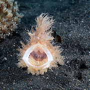 A hairy frogfish (Antennarius striatus) opening its mouth, or yawning, while searching for food.