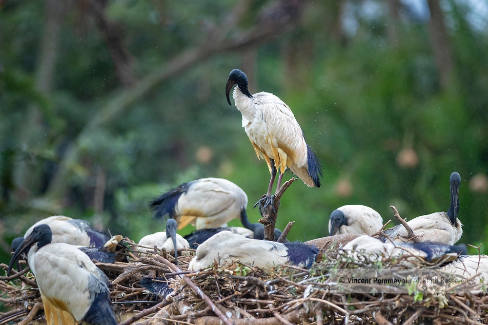 African sacred ibis-Ibis sacré (Threskiornis aethiopicus), South Africa.