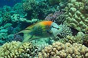 Slingjaw wrasse, Epibulus insidiator, swimming over coral reef in Hamata, Red Sea, Egypt