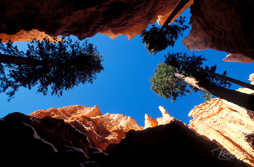 Ponderosa pines between the steep cliffs of Wall Street in winter, Bryce Amphitheater, Bryce Canyon National Park, Utah