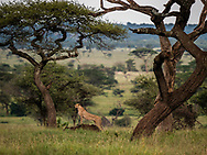 A lone cheetah pauses to listen as it hunts antelope in the Serengeti plains of Tanzania.<br />