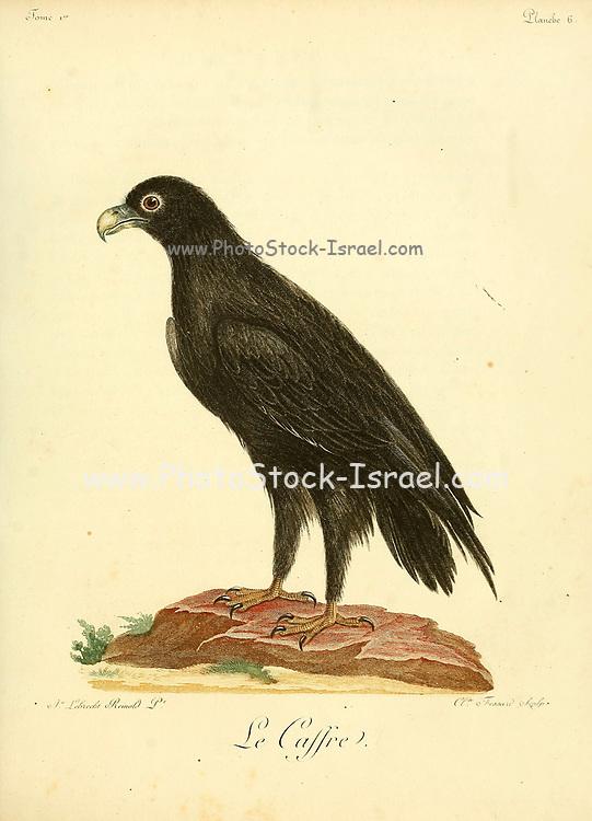 Le caffre Bird of Prey from the Book Histoire naturelle des oiseaux d'Afrique [Natural History of birds of Africa] by Le Vaillant, François, 1753-1824; Publish in Paris by Chez J.J. Fuchs, libraire .1799
