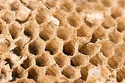 Fragment of shattered common wasps' nest (Vespula vulgaris). Dorset, UK.