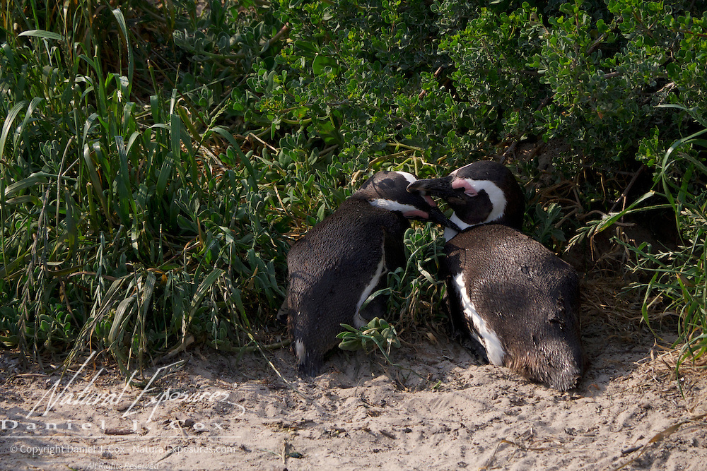 African Penguin, A mated pair grooms each other near their nest site. The Boulders Reserve in Table Mountain National Park, South Africa.