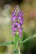 Marsh Woundwort - Stachys palustris
