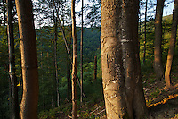 Partially used / cut Common beech (Fagus sylvatica) forest with some remaining old and decaying trees. Slopes of Mount Durkovec (1189 m), Runina area, Slovakia.