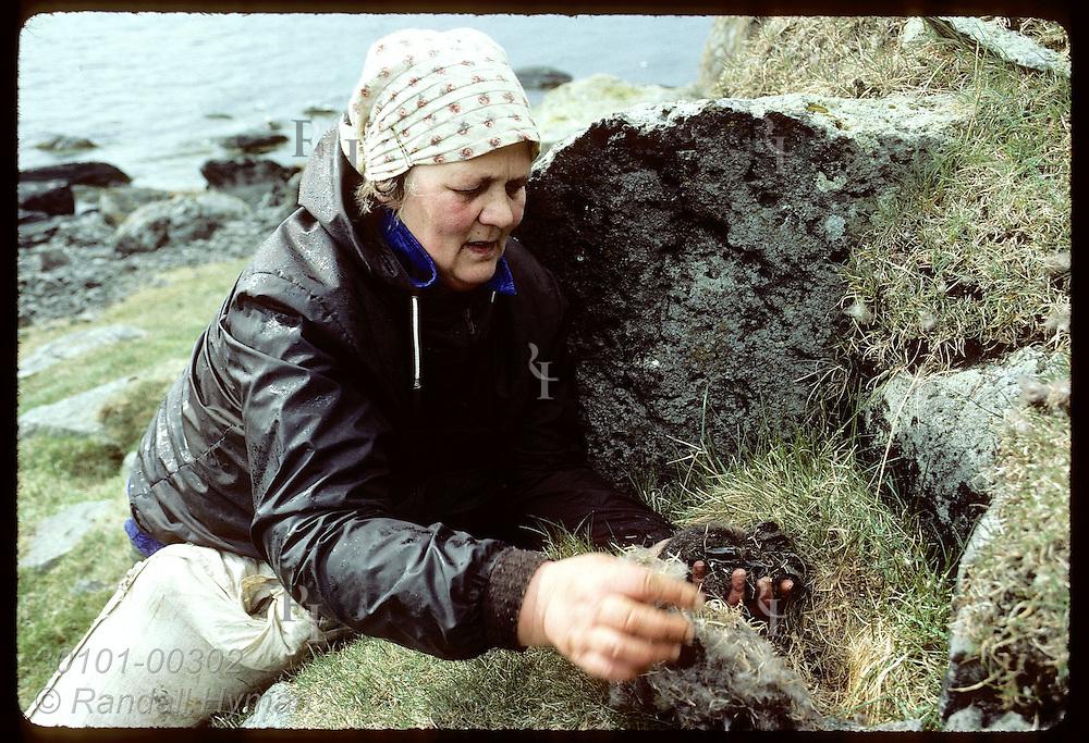 Sigga Salvarsdottir, of Vigur Island's family, holds ducklings while taking down from nest;June Iceland