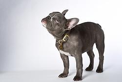 20190319 Margaret. French Bulldog from the Ukraine.<br /> © Laura Mueller 2019<br /> www.lauramuellerphotography.com