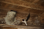 Swallows living under the roof of a building at Yamaguchi farm, Otaki, Chiba prefecture, Japan, April 29, 2011.