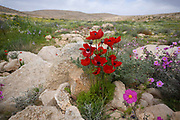 Red Anemone coronaria, the poppy anemone, Spanish marigold, or windflower, is a species of flowering plant in the genus Anemone, native to the Mediterranean region. Photographed at the Lotz Cisterns in The Negev Desert Israel in March