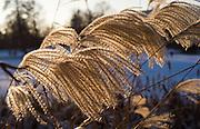 Berlin, GERMANY, General Views, GVs. Berlin Spandau, Park Lake, Frozen Lake,  Pampas Grass in the low winter sunlight, Monday - 12/01/2009 {Mandatory Credit/Peter Spurrier] Street Photos