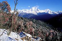 Nepal - Region des Annapurnas - Village de Gorepani - montagne Daulaghiri - Rhododindrons en fleur