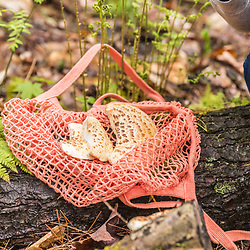 A woman harvests mushrooms in a forest near Mill Brook in Westbrook, Maine.