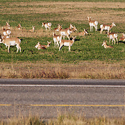 A herd of pronghorn antelope in an agricultural field along Interstate I-90.  Montana.
