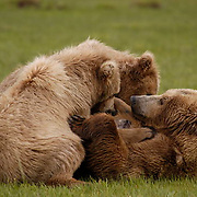 Alaskan Brown Bear (Ursus middendorffi) Mother nursing cubs. Katmai National Park. Alaska.