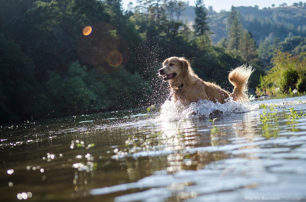 Dog (golden retriever) splashing through water in the South Fork American River, near Lotus, California
