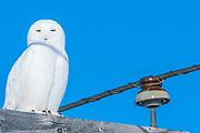 Some Snowy Owl Shots