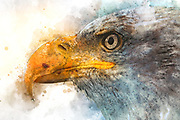 Digitally enhanced image of a portrait of a Bald Eagle (Haliaeetus leucocephalus) a North American bird of prey