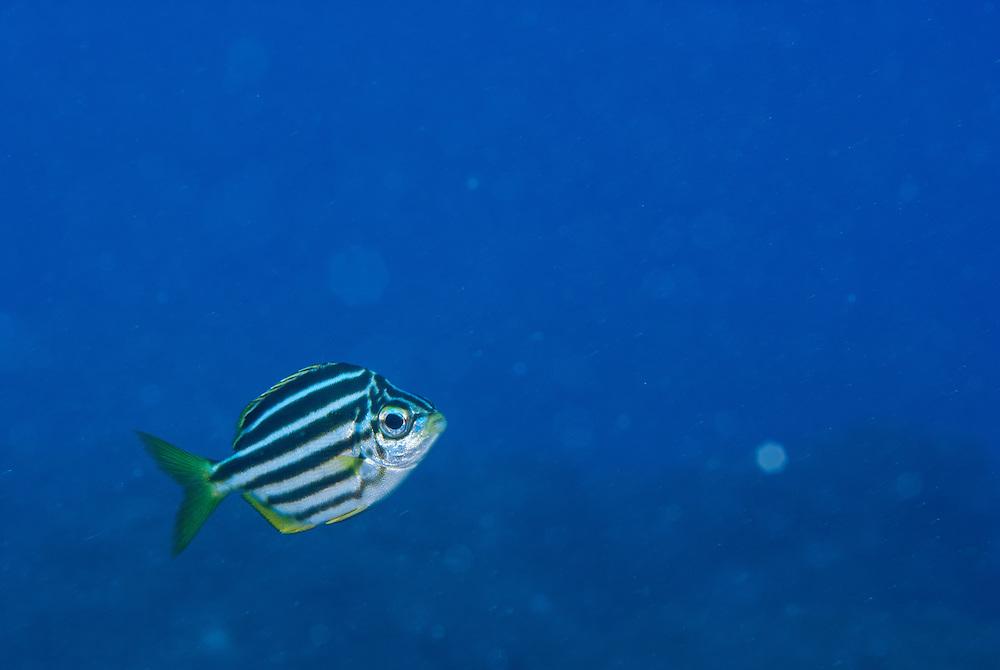 Kermadecs Marine Reserve Mado, Atypichthys latus