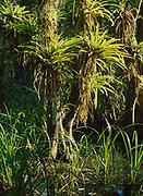 Strap-leaved bromeliad, Guzmania monostachia, Fakahatchee Strand Preserve State Park, Florida.