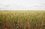 A ripening wheat crop is so far unaffected by Australian Plague Locusts which will threaten and possibly devastate crops like these in the coming weeks in areas around Mildura, Victoria, Australia.   The Victorian government has pledged $43.5million in support to help combat what could be the worst locust plague in over 75 years in South Eastern Australia with potential imapcts on agriculture of over $2 billion.
