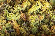 Harvested grapes, chenin blanc. Chateau de Passavant, Anjou, Loire, France